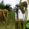 Foxtail millet good for Diabetes