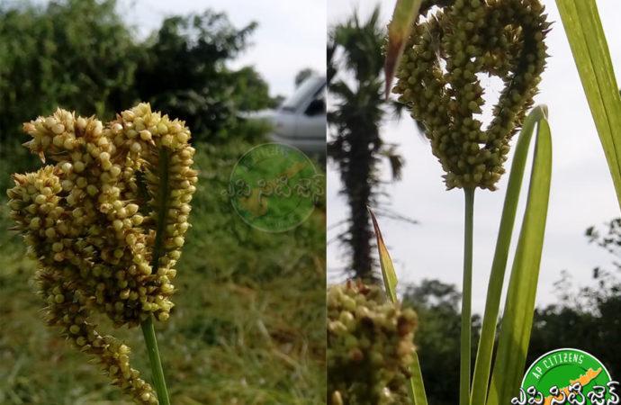 Foxtail millet good for Diabetes